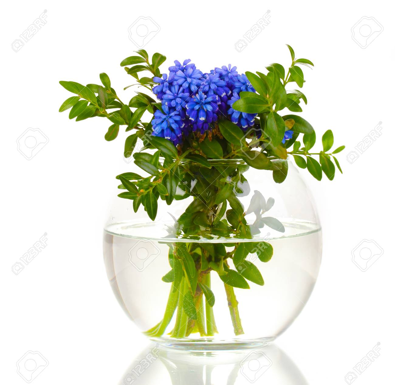 Muscari - hyacinth in vase isolated on white Stock Photo - 14706740