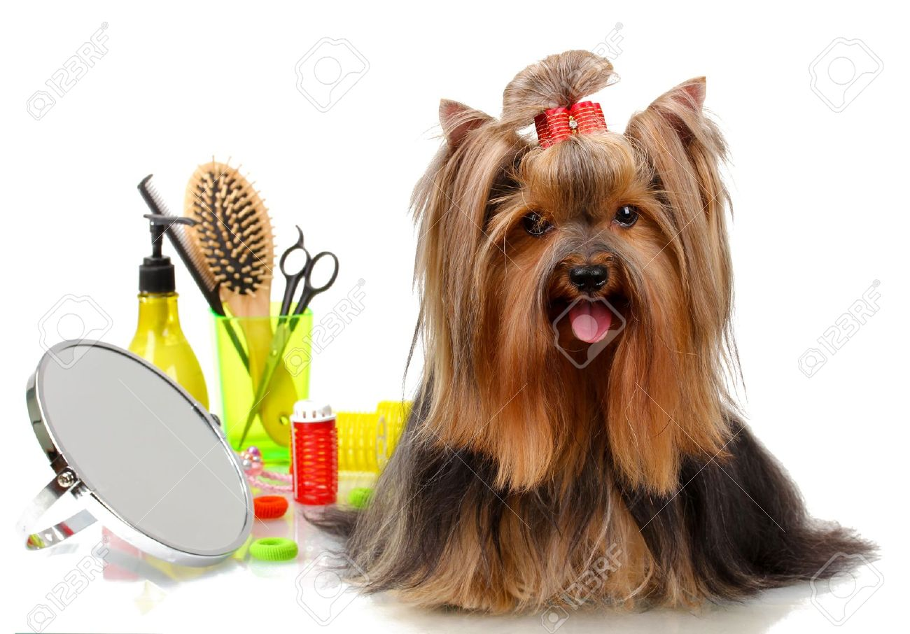 yorkie images & stock pictures. royalty free yorkie photos and