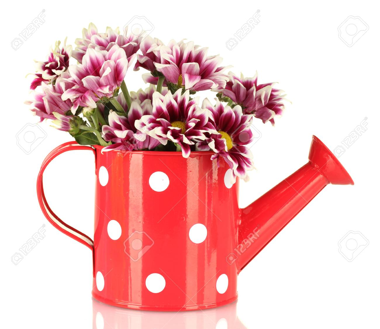 colorful chrysanthemums in red watering can with white polka dot isolated on white Stock Photo - 15614285