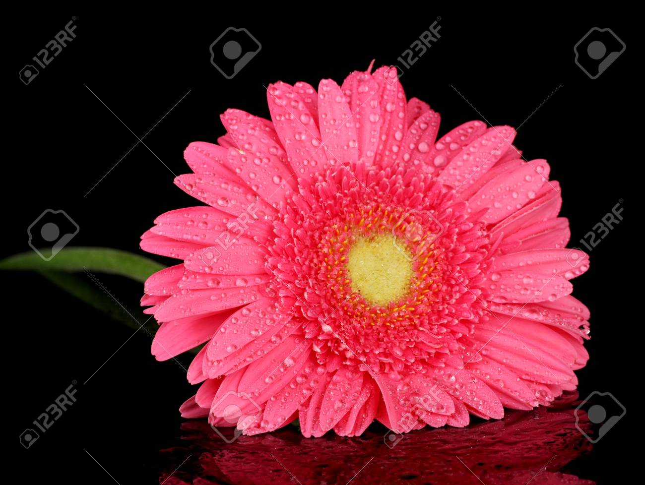 pink gerbera with drops isolated on black Stock Photo - 16342279