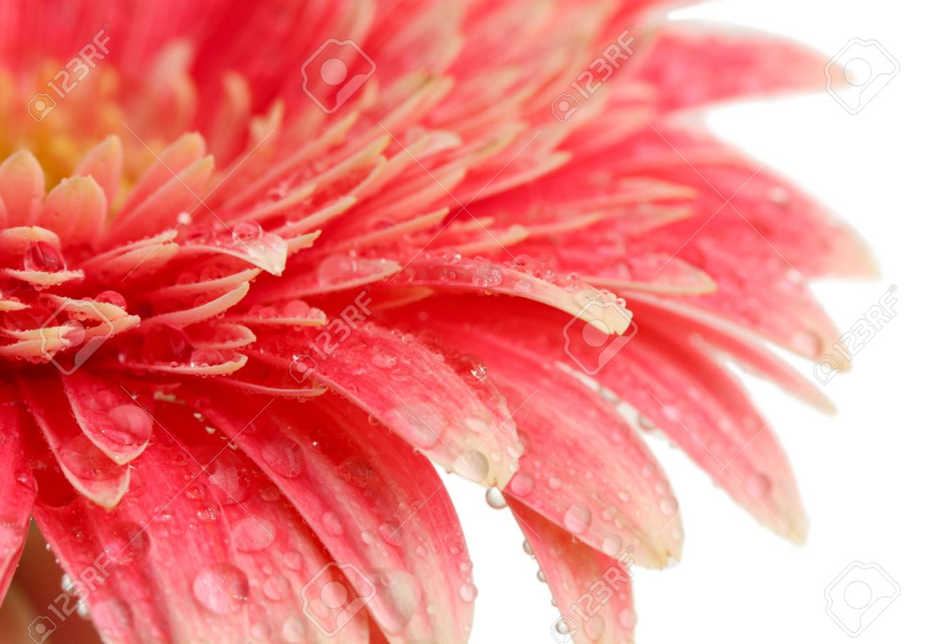 beautiful gerbera flower isolated on white Stock Photo - 17116779