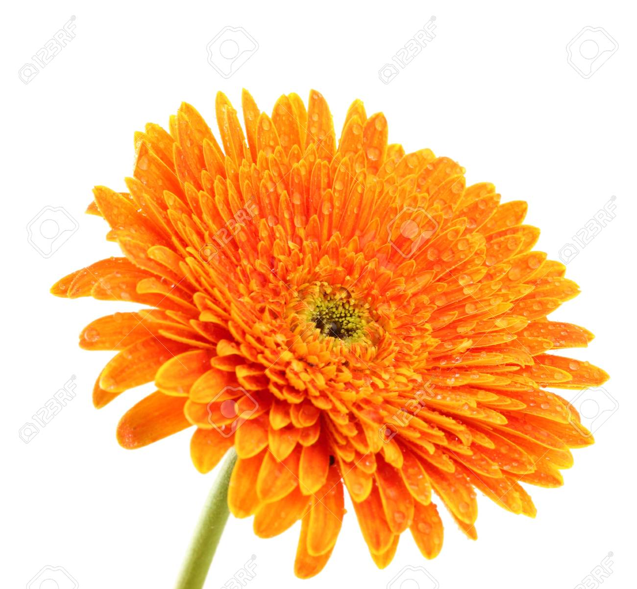 beautiful gerbera flower isolated on white Stock Photo - 17139889