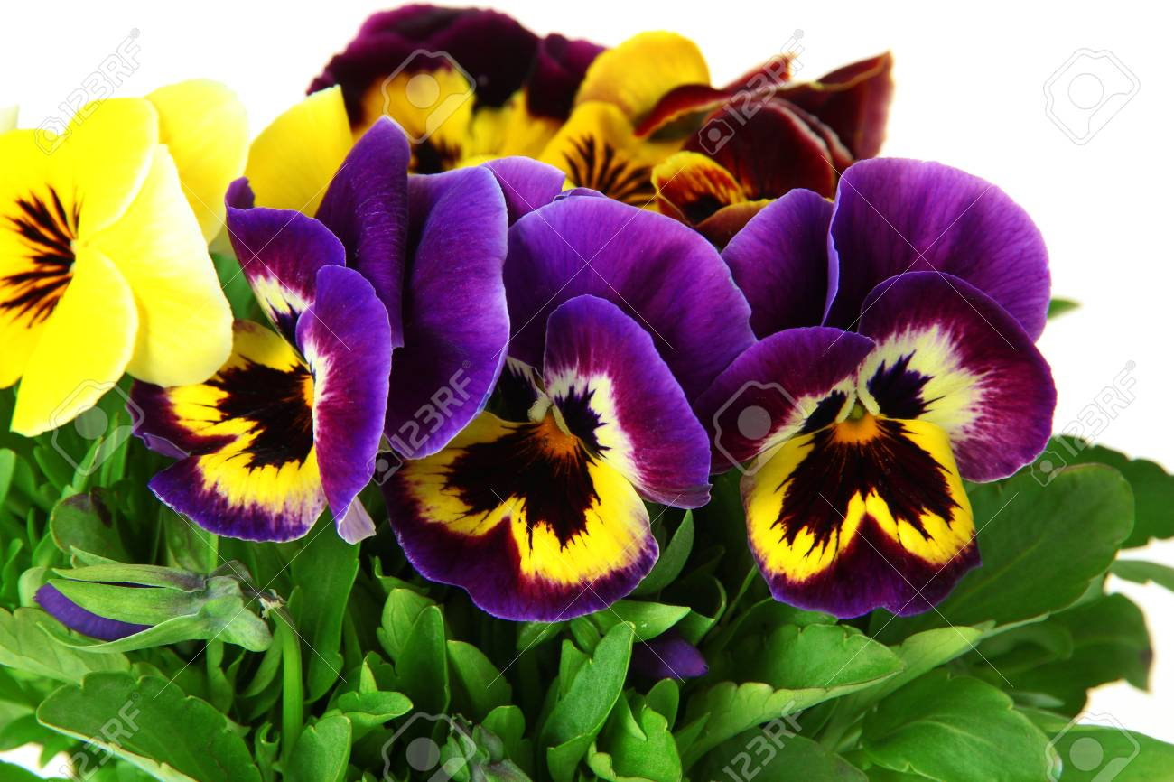 Beautiful Pansies Flowers Isolated On A White Stock Photo Picture