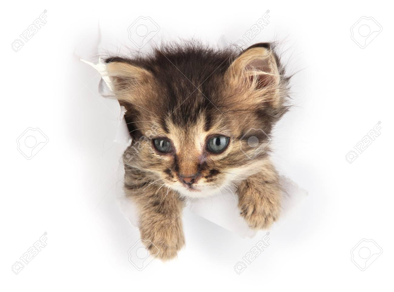 Small kitten in paper side torn hole isolated on white Stock Photo - 20800214