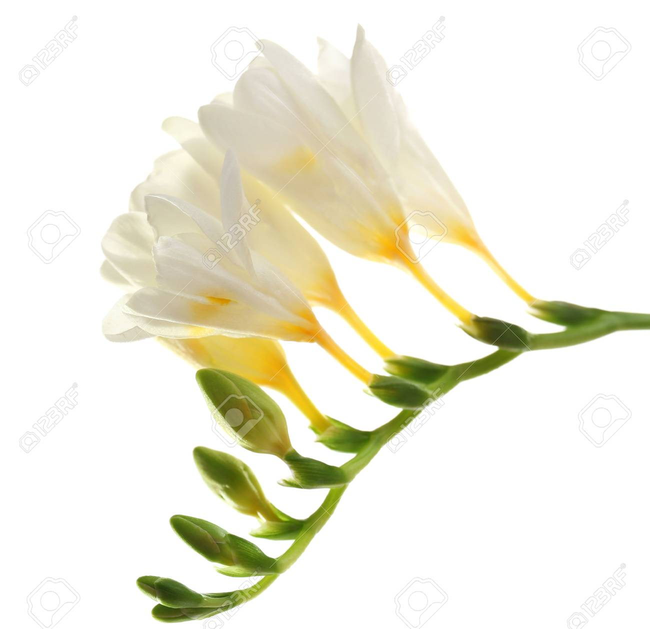 Beautiful Freesia Flowers Isolated On White Stock Photo Picture