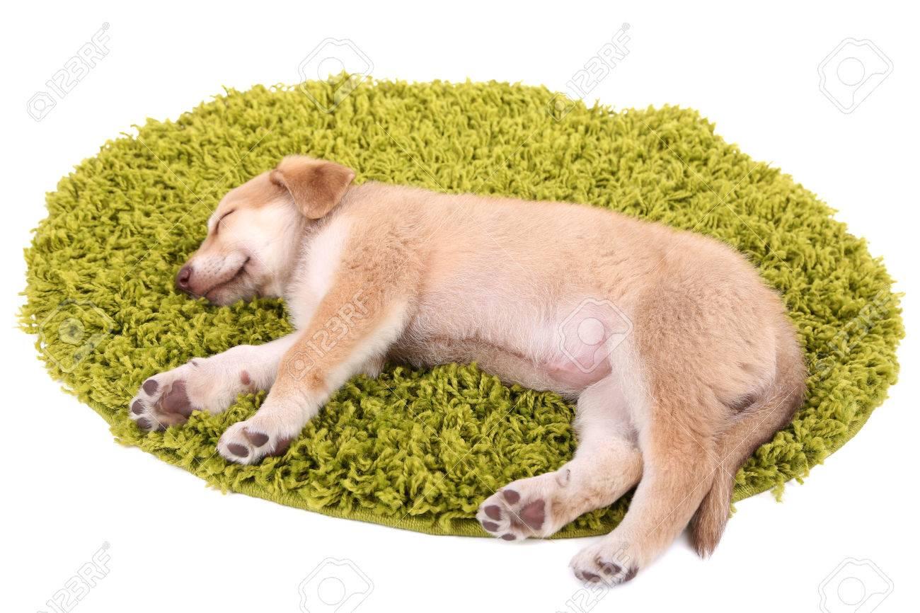 grüner golden retriever welpe