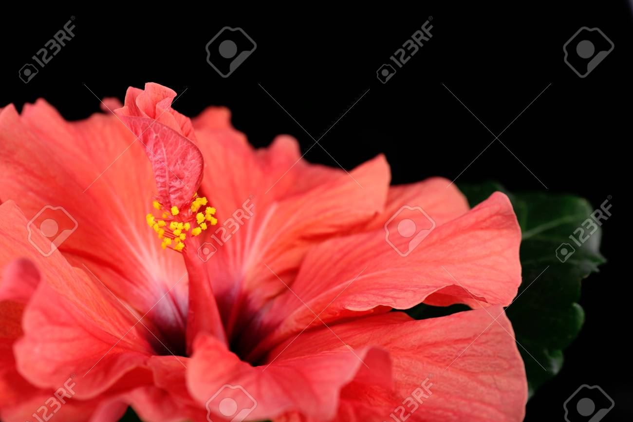 Red Hibiscus Flower Close Up Isolated On Black Stock Photo