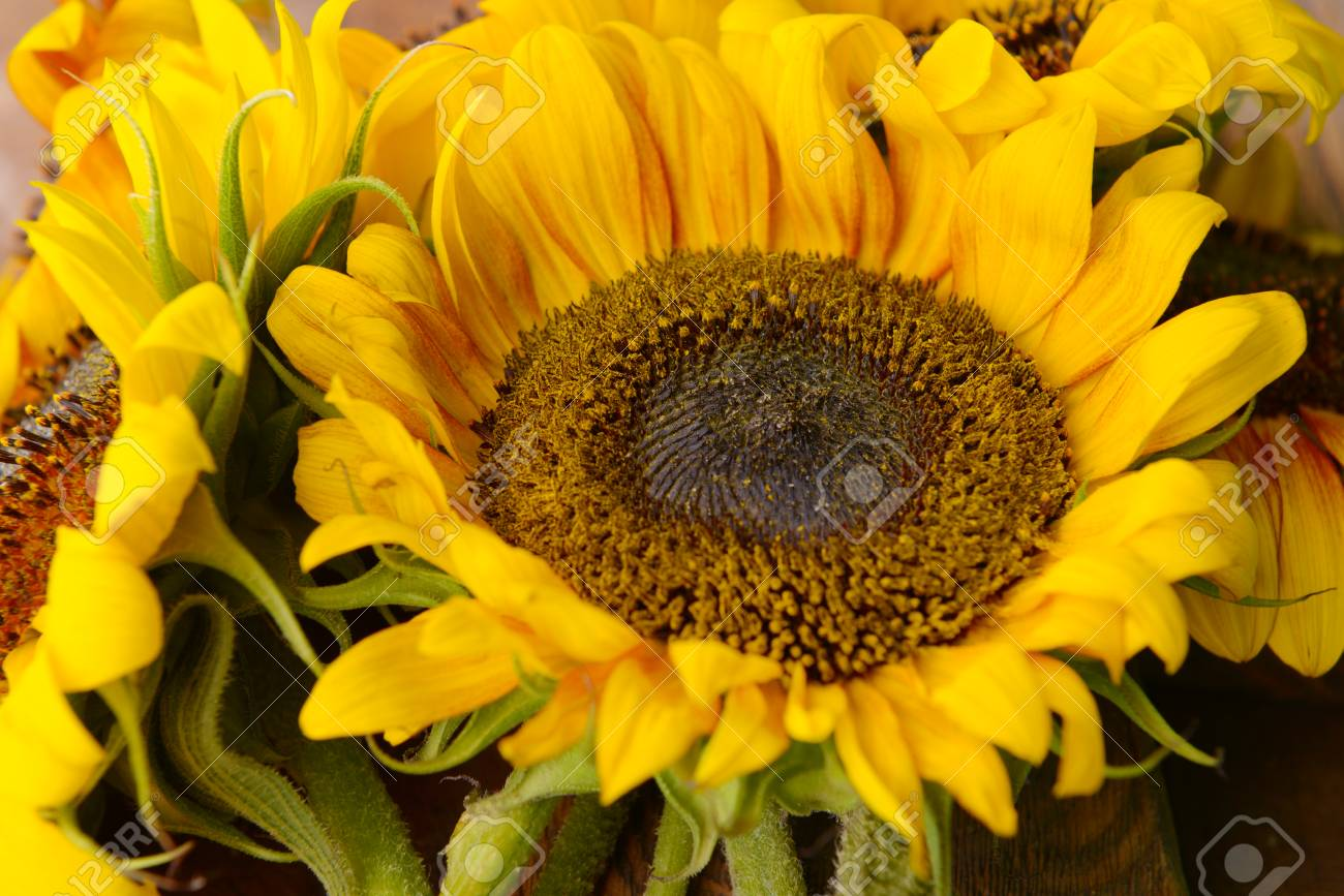 Beautiful Sunflowers Close Up Stock Photo Picture And Royalty Free