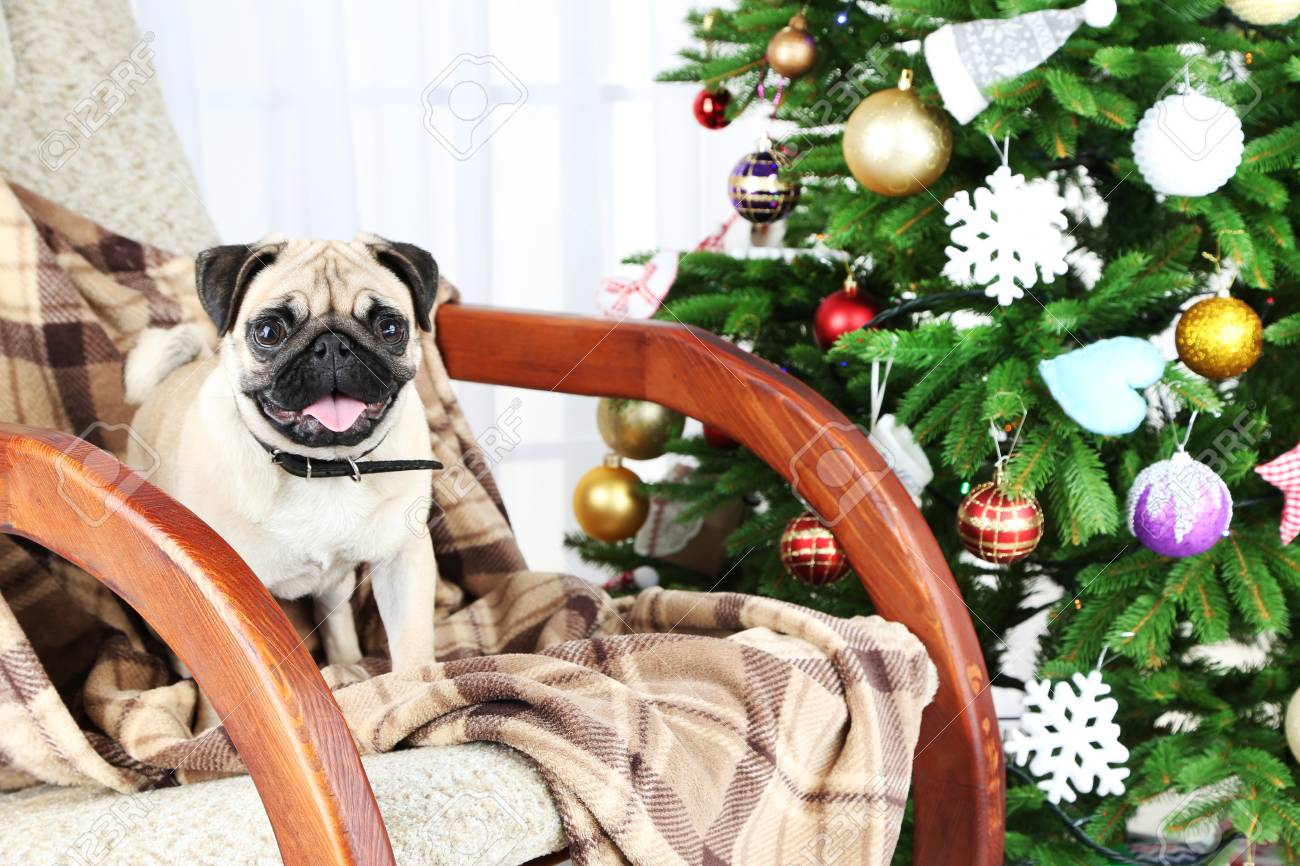 Surprising Funny Cute And Playful Pug Dog On Rocking Chair Near Christmas Squirreltailoven Fun Painted Chair Ideas Images Squirreltailovenorg