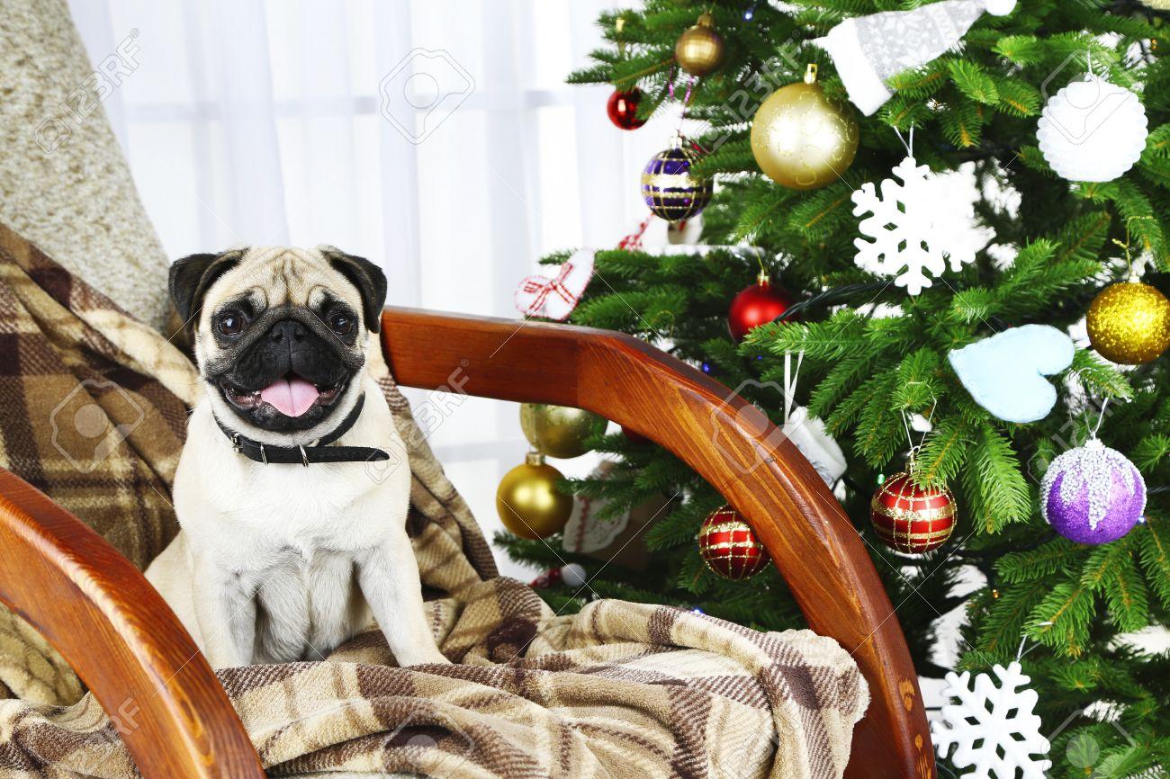 Strange Funny Cute And Playful Pug Dog On Rocking Chair Near Christmas Frankydiablos Diy Chair Ideas Frankydiabloscom