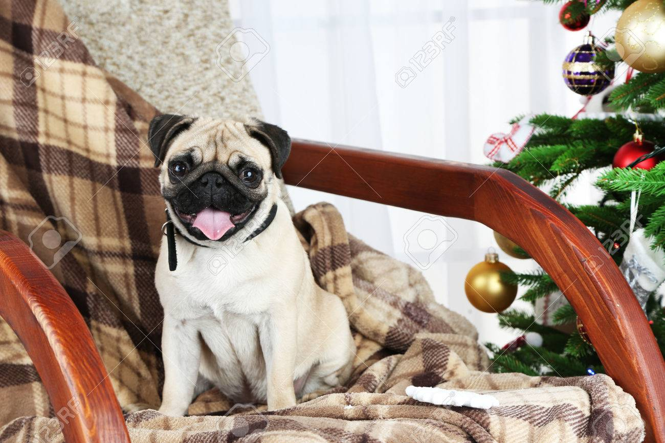 Wondrous Funny Cute And Playful Pug Dog On Rocking Chair Near Christmas Squirreltailoven Fun Painted Chair Ideas Images Squirreltailovenorg