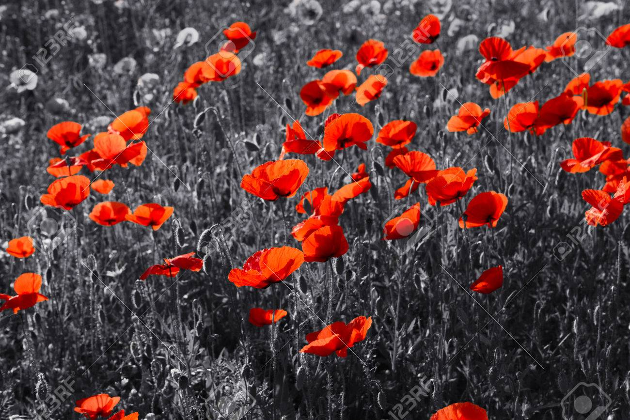 Red poppy flowers for remembrance day sunday stock photo picture red poppy flowers for remembrance day sunday stock photo 41571494 mightylinksfo