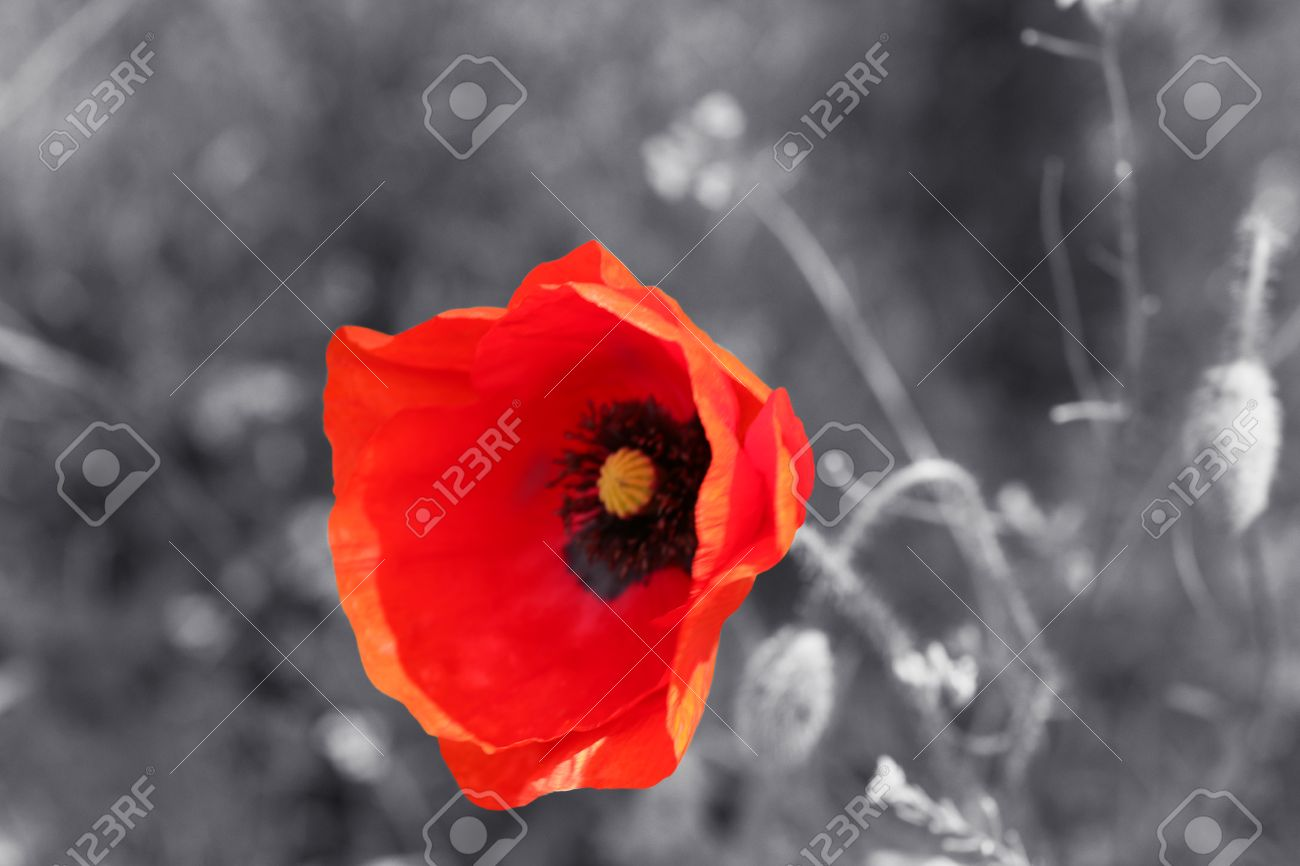 red poppy flower for remembrance day sunday stock photo picture