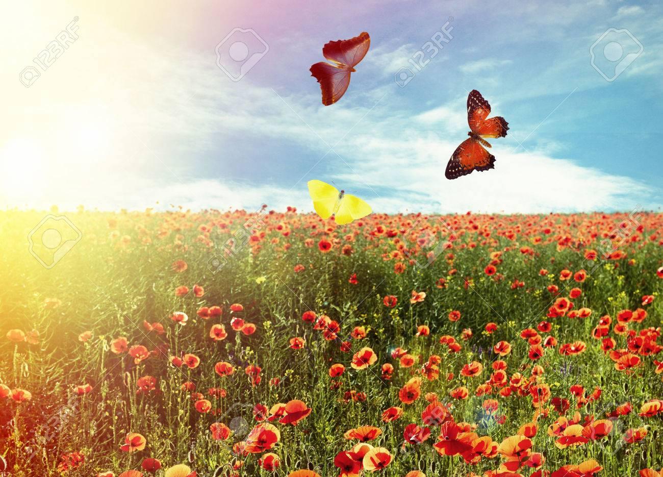 Beautiful Butterflies In Field Of Poppy Flowers Stock Photo Picture