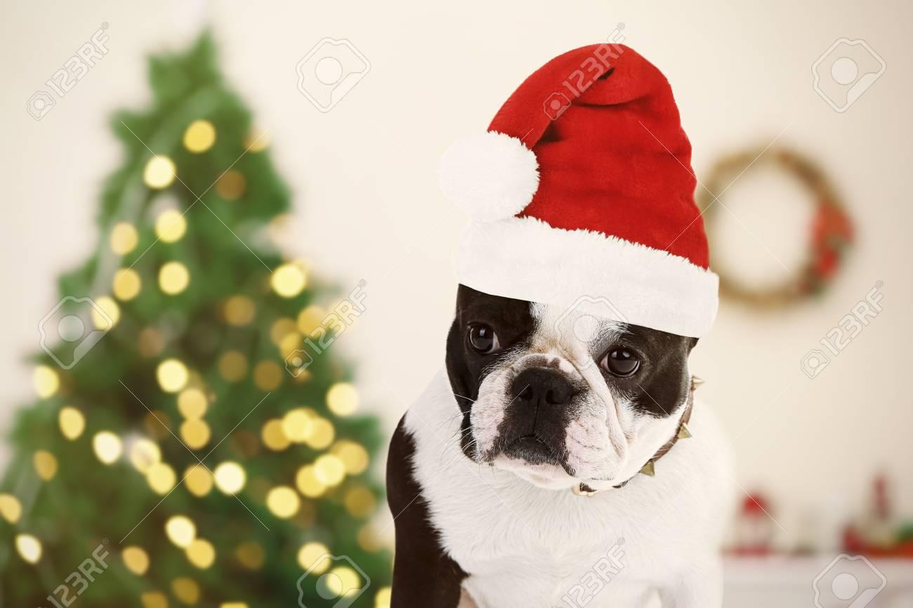 2d2f65e08a1ec Funny dog with Santa hat near Christmas tree Stock Photo - 51293207