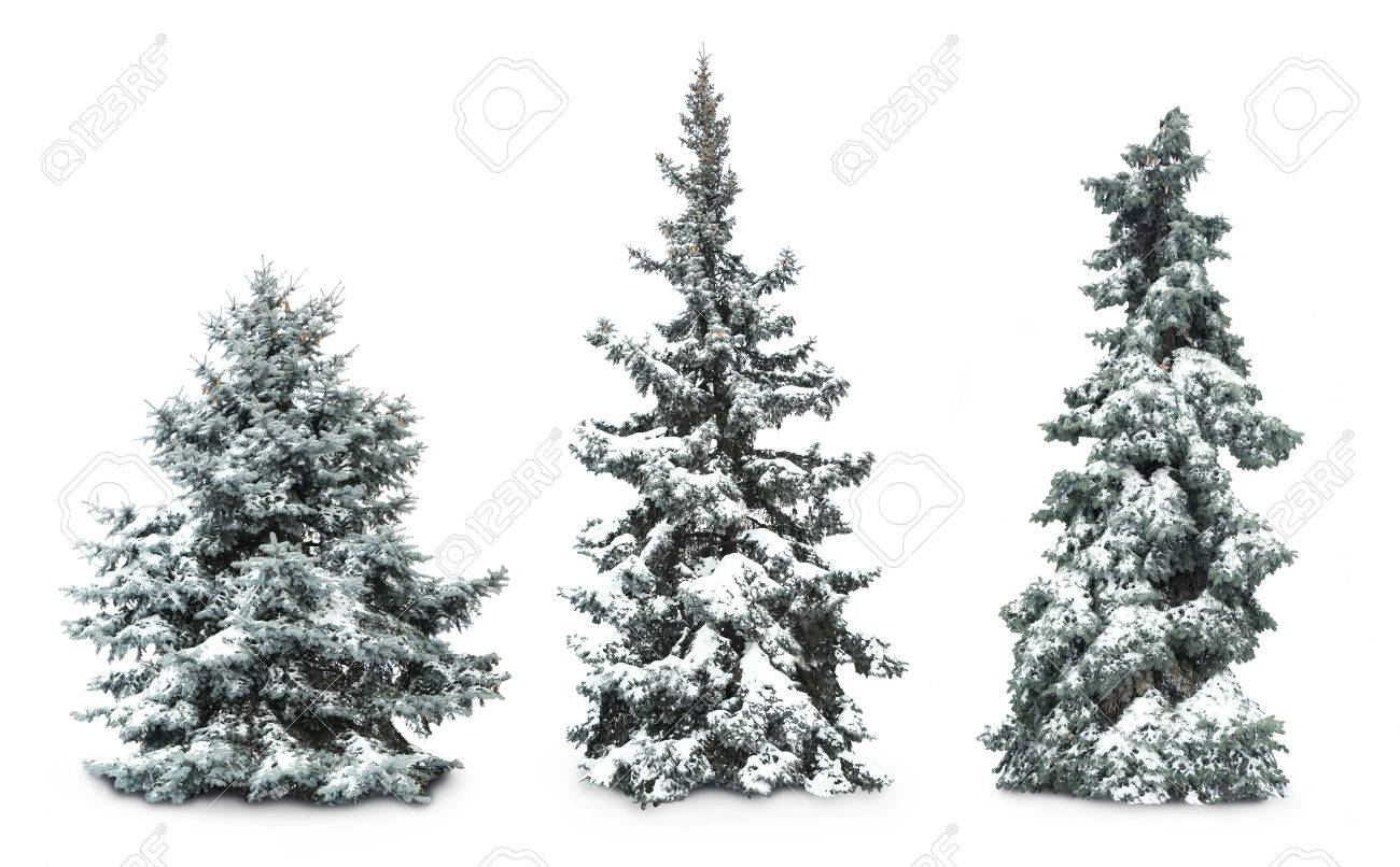 Fir-trees with snow, isolated on white - 52531639