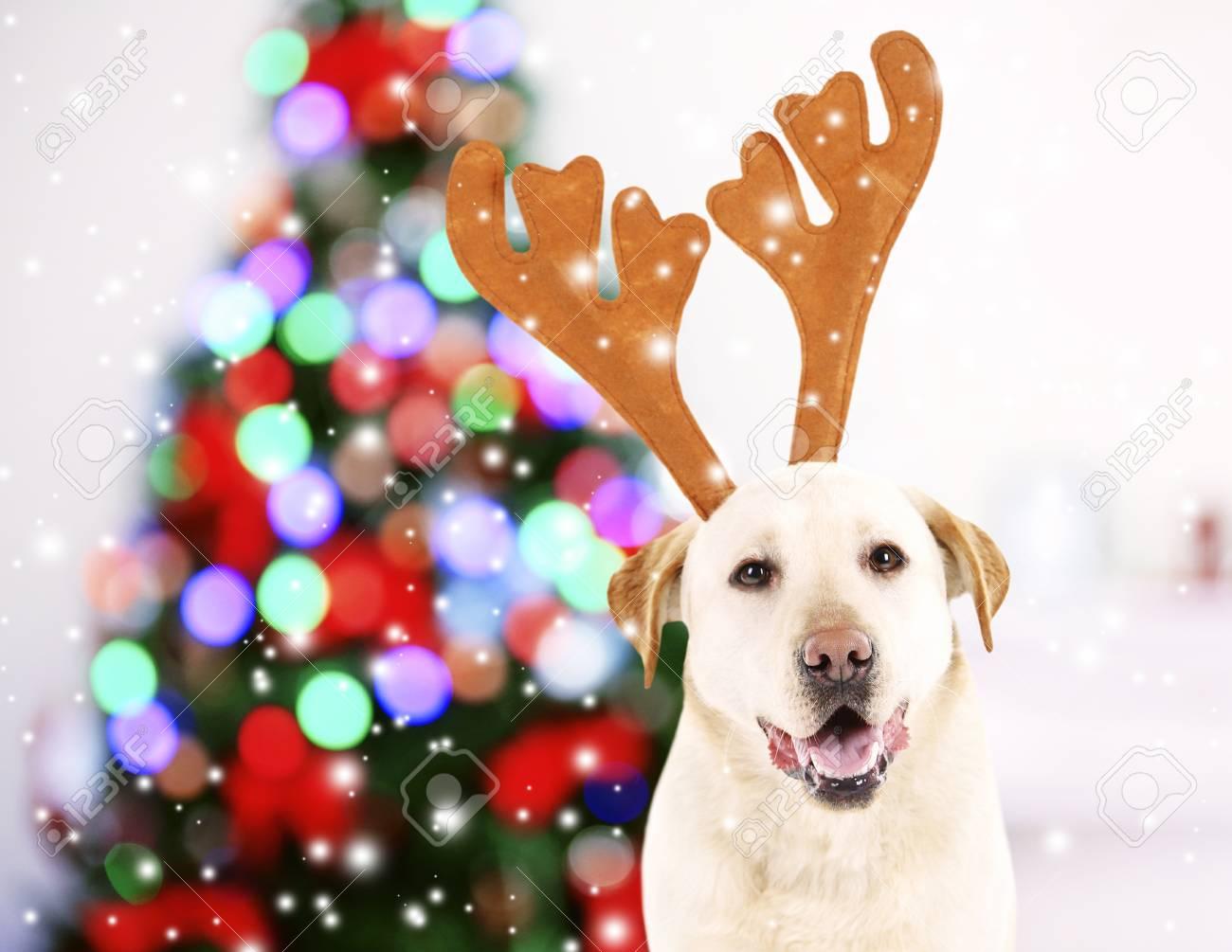 Lustiger Hund Mit Den Geweihen In Der Nähe Von Weihnachtsbaum ...