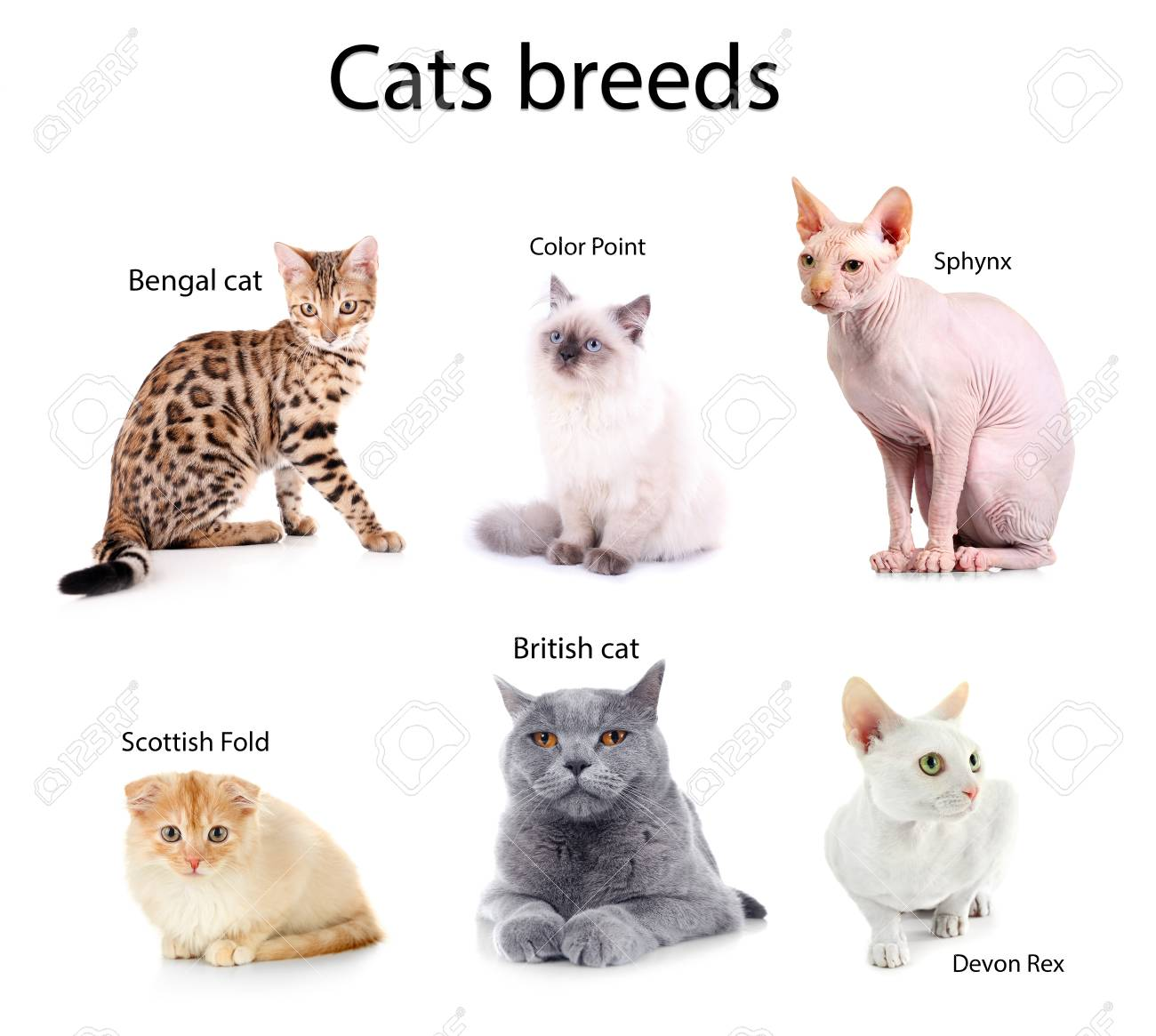 Beautiful Cats With Names Of Breeds On White Background Stock Photo Picture And Royalty Free Image Image 78338382