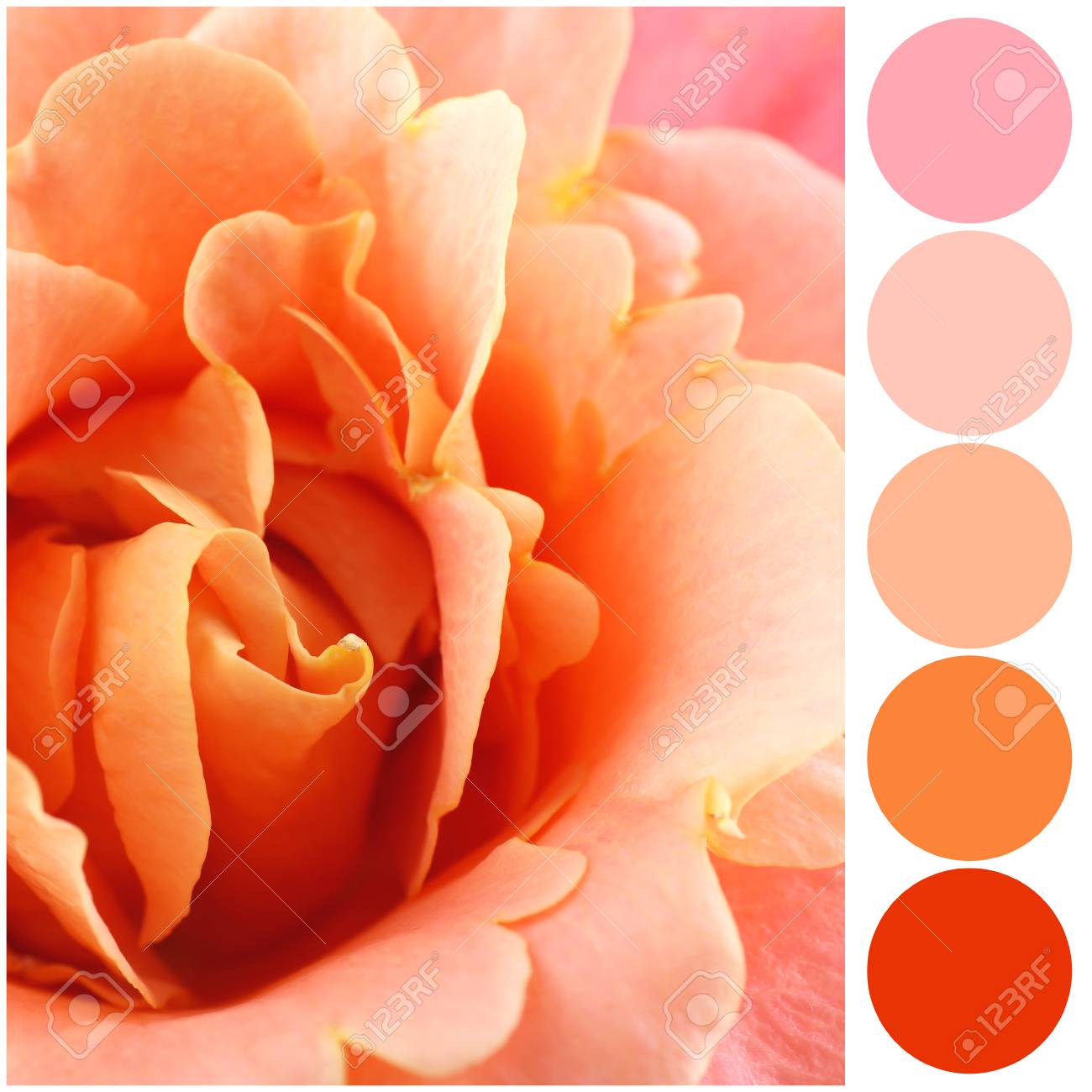 Apricot color matching palette  Beautiful flower, closeup
