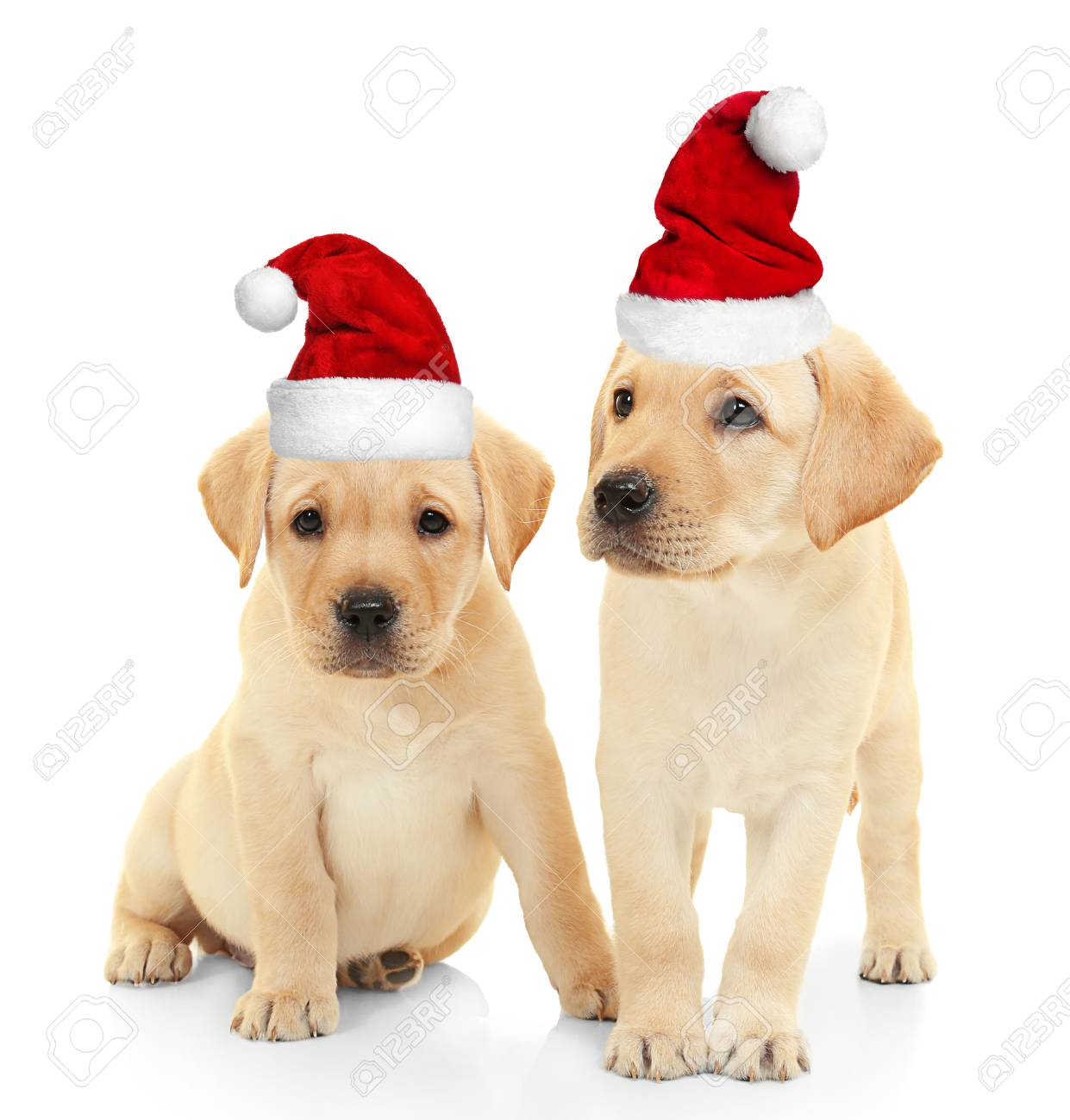 Cute Christmas Puppies.Cute Puppies In Santa Hats On White Background Christmas And