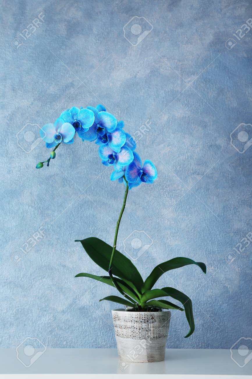 Beautiful Blue Orchid Flower On Grey Background Stock Photo Picture