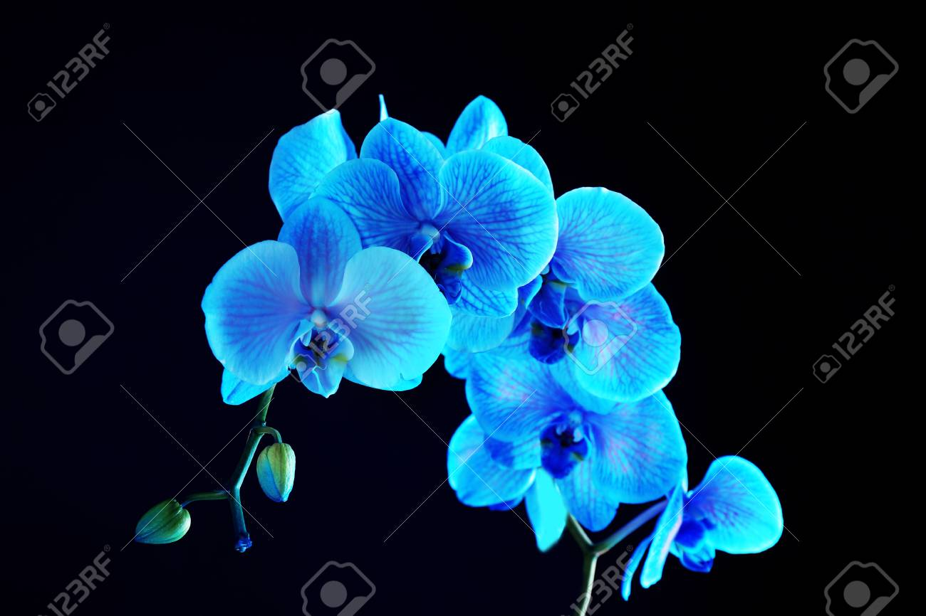 Beautiful Blue Orchid Flower On Black Background Stock Photo