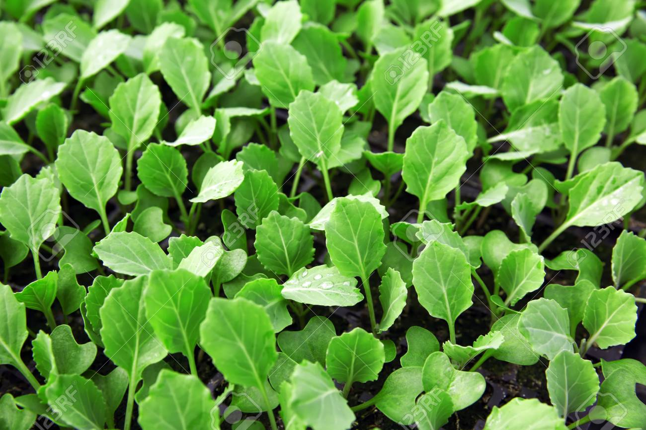 young cabbage seedlings growing stock photo picture and royalty