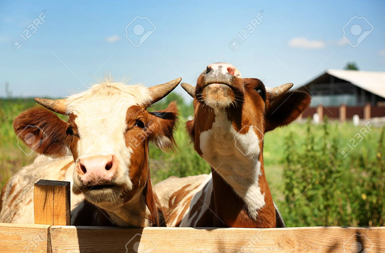 Cows On Blurred Dairy Farm Background Stock Photo