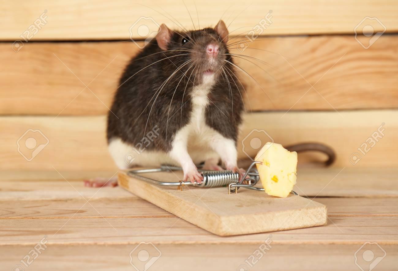 木製の背景にチーズとかわいいネズミとマウストラップ の写真素材 ...