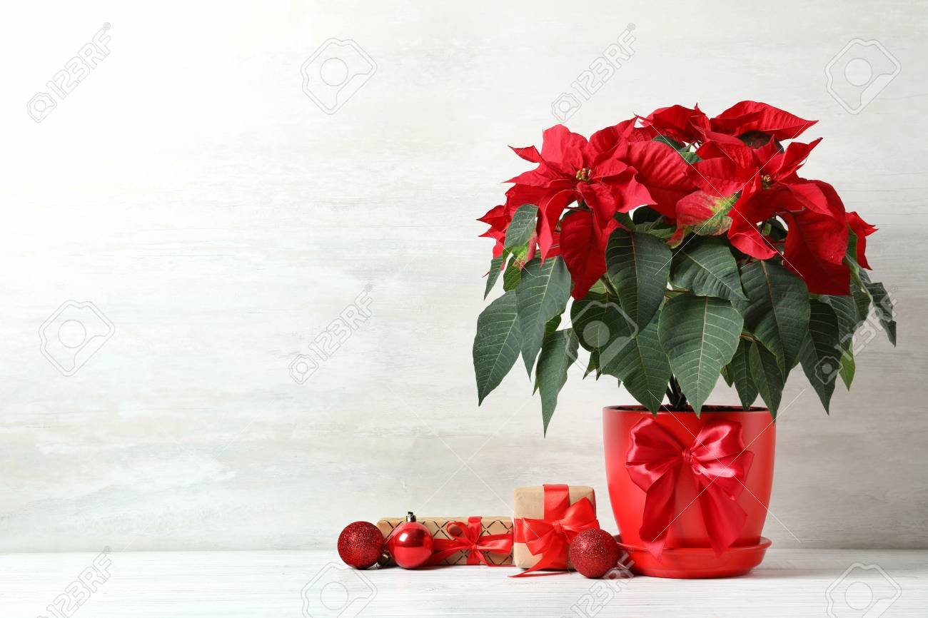 Pot with poinsettia (traditional Christmas flower) and gift boxes on table against light background