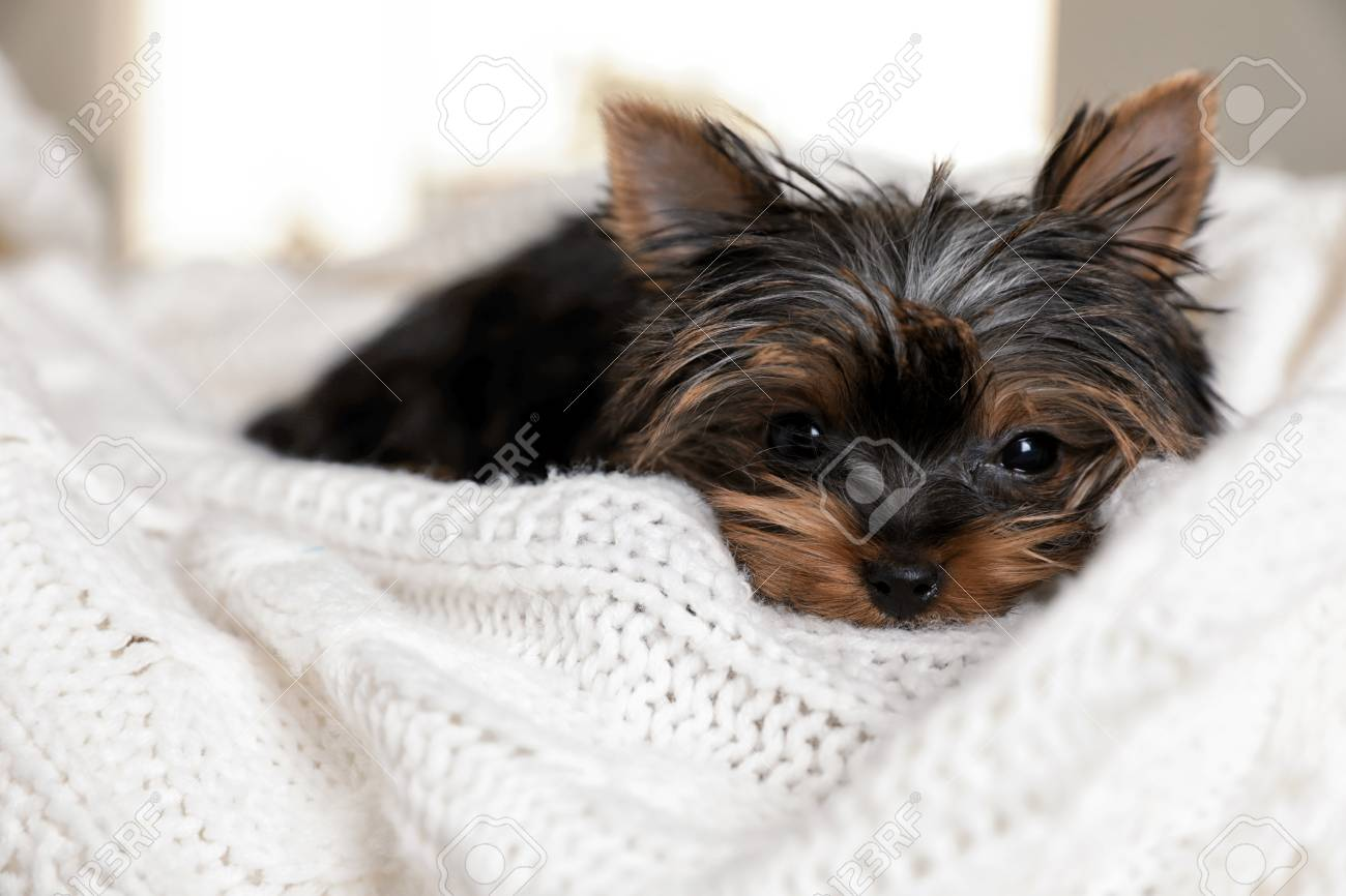 Cute Yorkshire Terrier Puppy On Bed Closeup Happy Dog Stock Photo Picture And Royalty Free Image Image 117810934