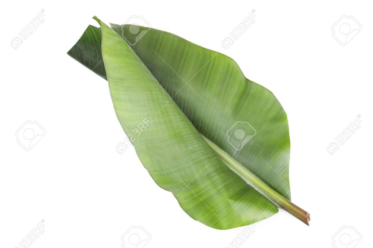 Fresh green banana leaf on white background. Tropical foliage - 120495175