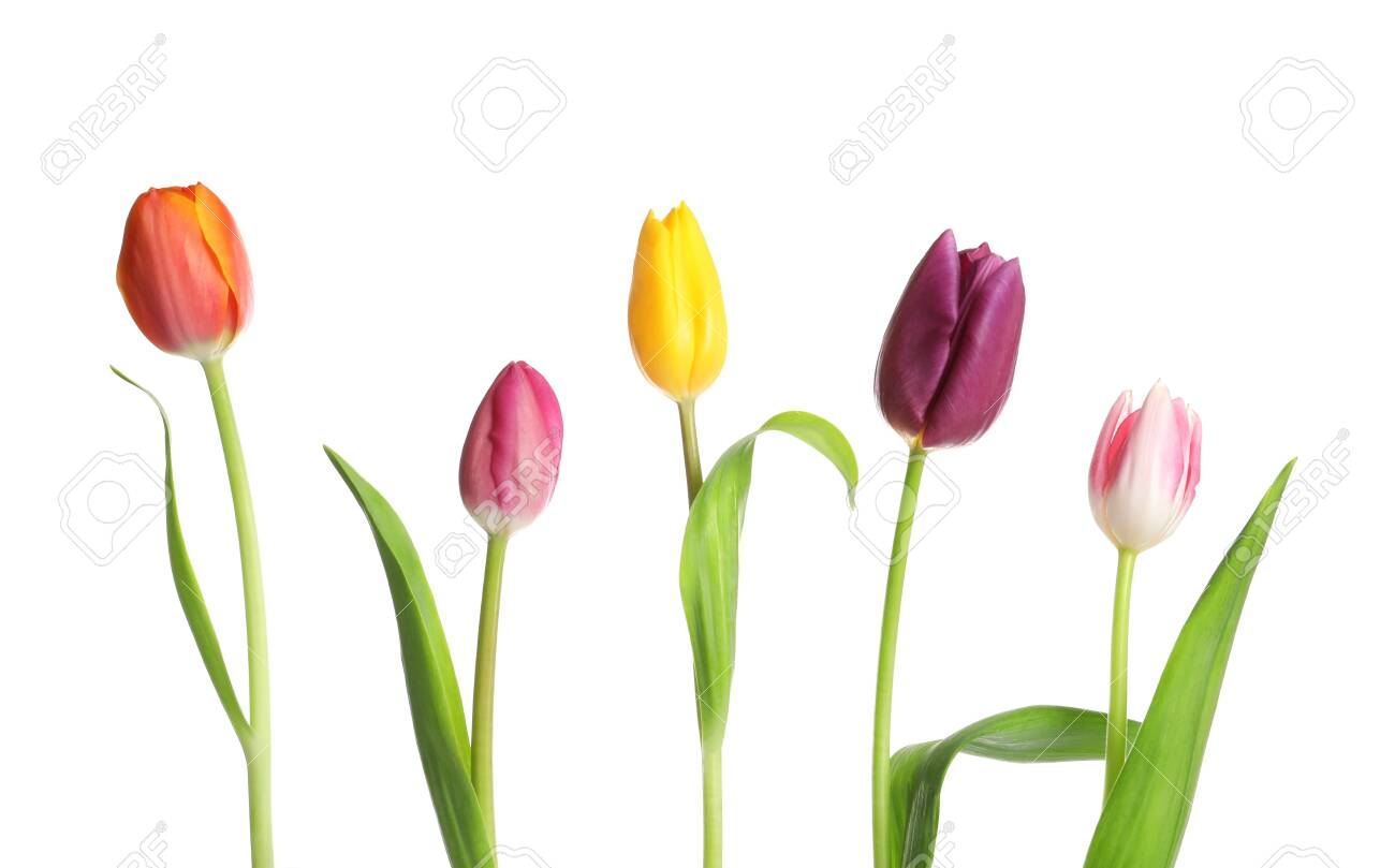 Beautiful bright tulips on white background. Spring flowers - 121987790