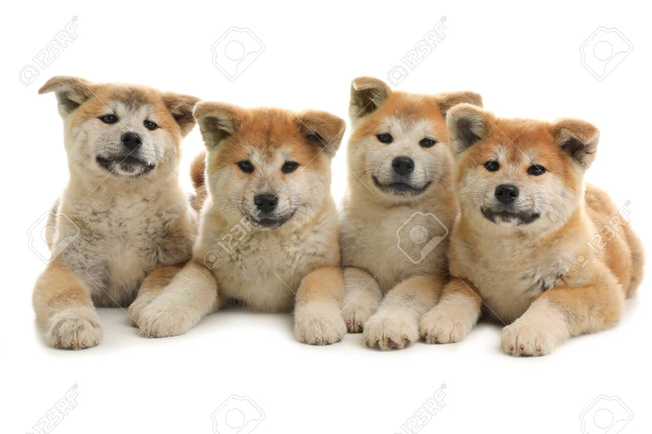 Cute akita inu puppies isolated on white - 123229840