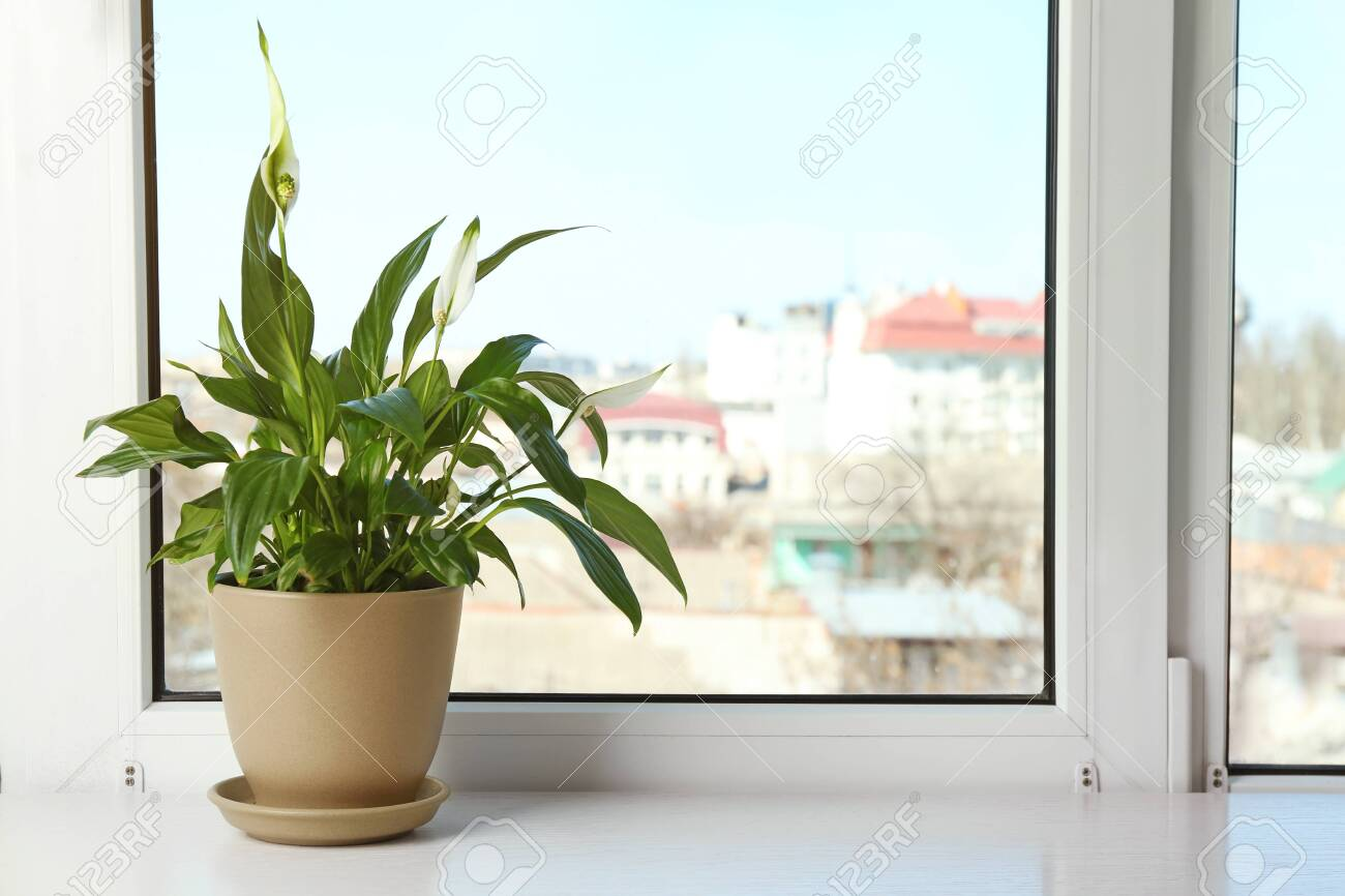 Pot with peace lily on windowsill, space for text. House plant Peace Lily House Plant on peace lily family plant, chinese evergreen house plant, droopy peace lily plant, funeral peace lily plant, peace lily potted plant, peace lily plant benefits, classic peace lily plant, black bamboo potted plant, white and green leaves house plant, croton house plant, peace plant brown leaves, dragon plant, holly house plant, zamiifolia house plant, problems with peace lily plant, weeping fig house plant, marginata house plant, artificial bamboo house plant, black gold lily plant, pineapple plant house plant,