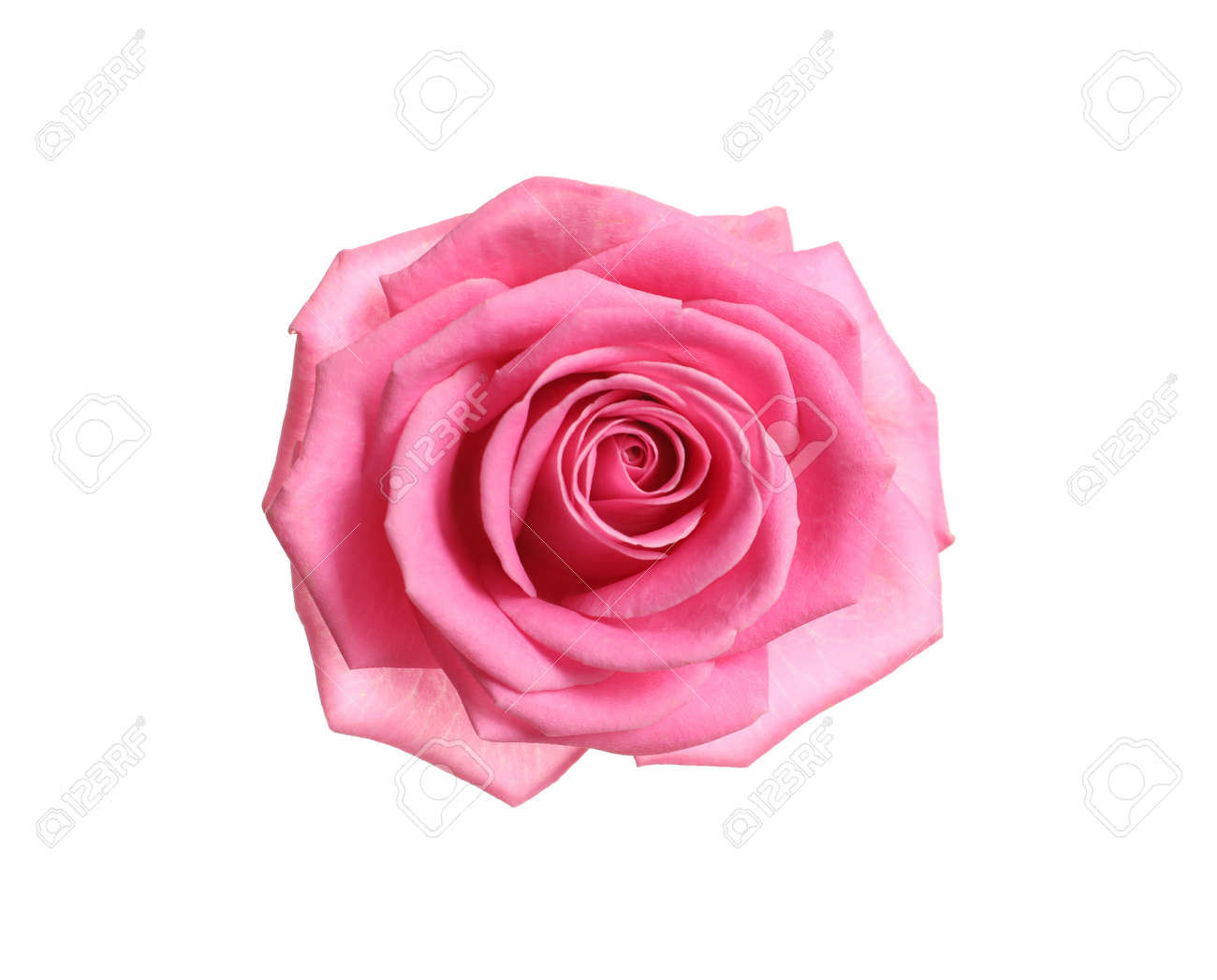 Beautiful blooming pink rose on white background, top view - 125054030