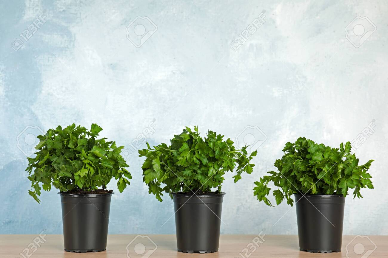Pots with fresh green parsley on wooden table against color background. Space for text - 126048697