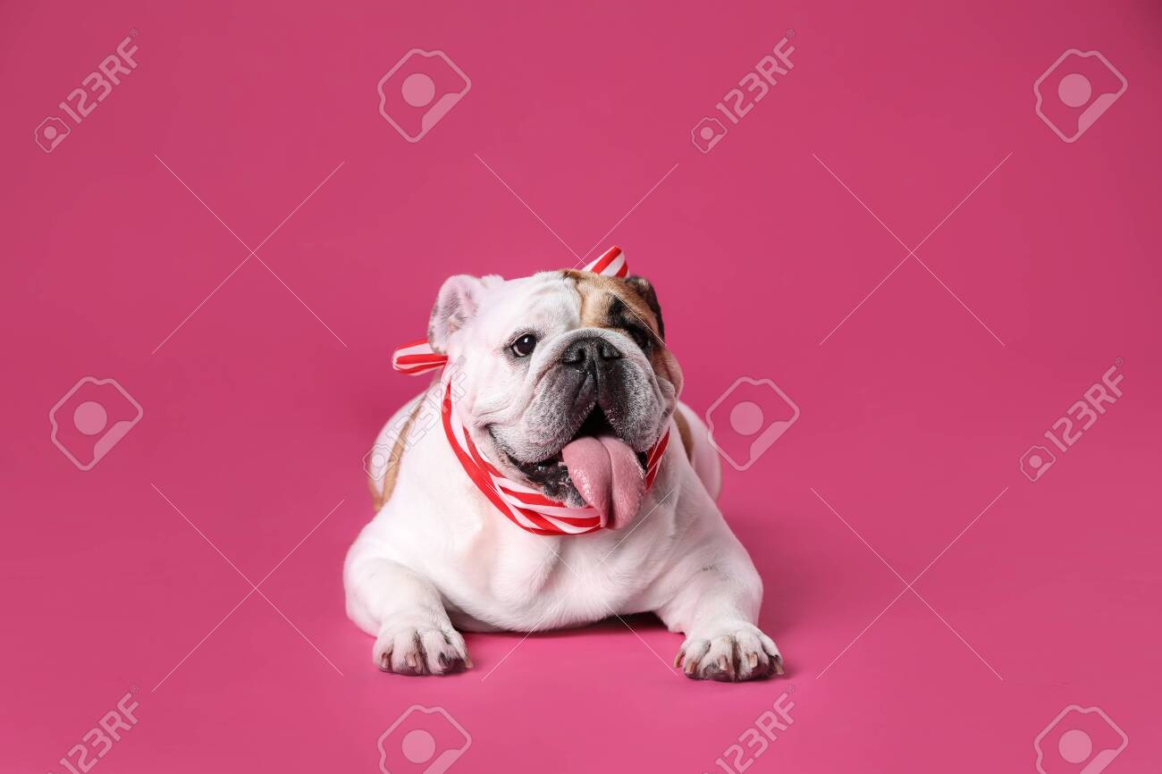 Adorable funny English bulldog with ribbon on pink background - 129542913