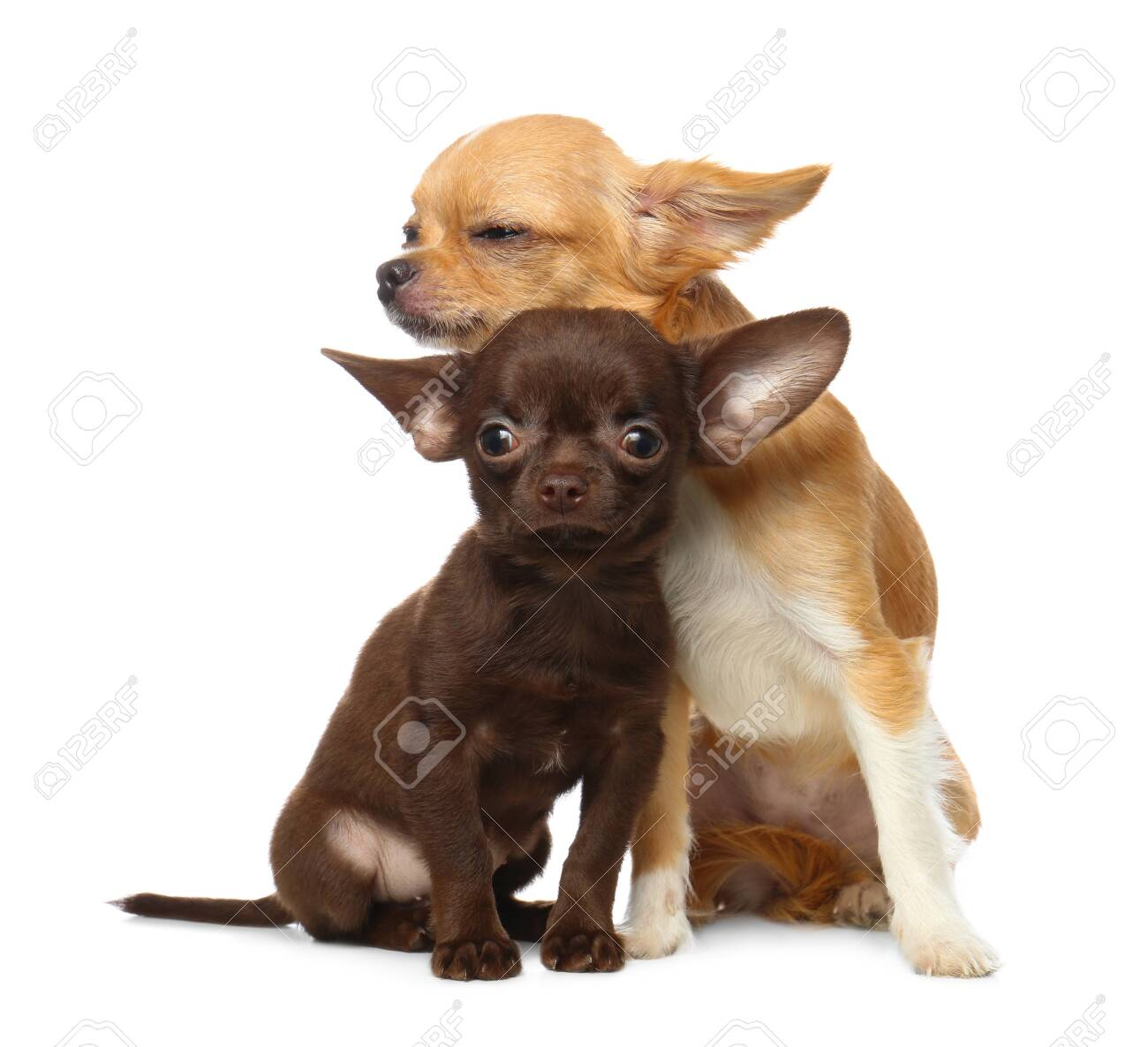 Cute Small Chihuahua Dogs On White Background Stock Photo Picture And Royalty Free Image Image 129750069