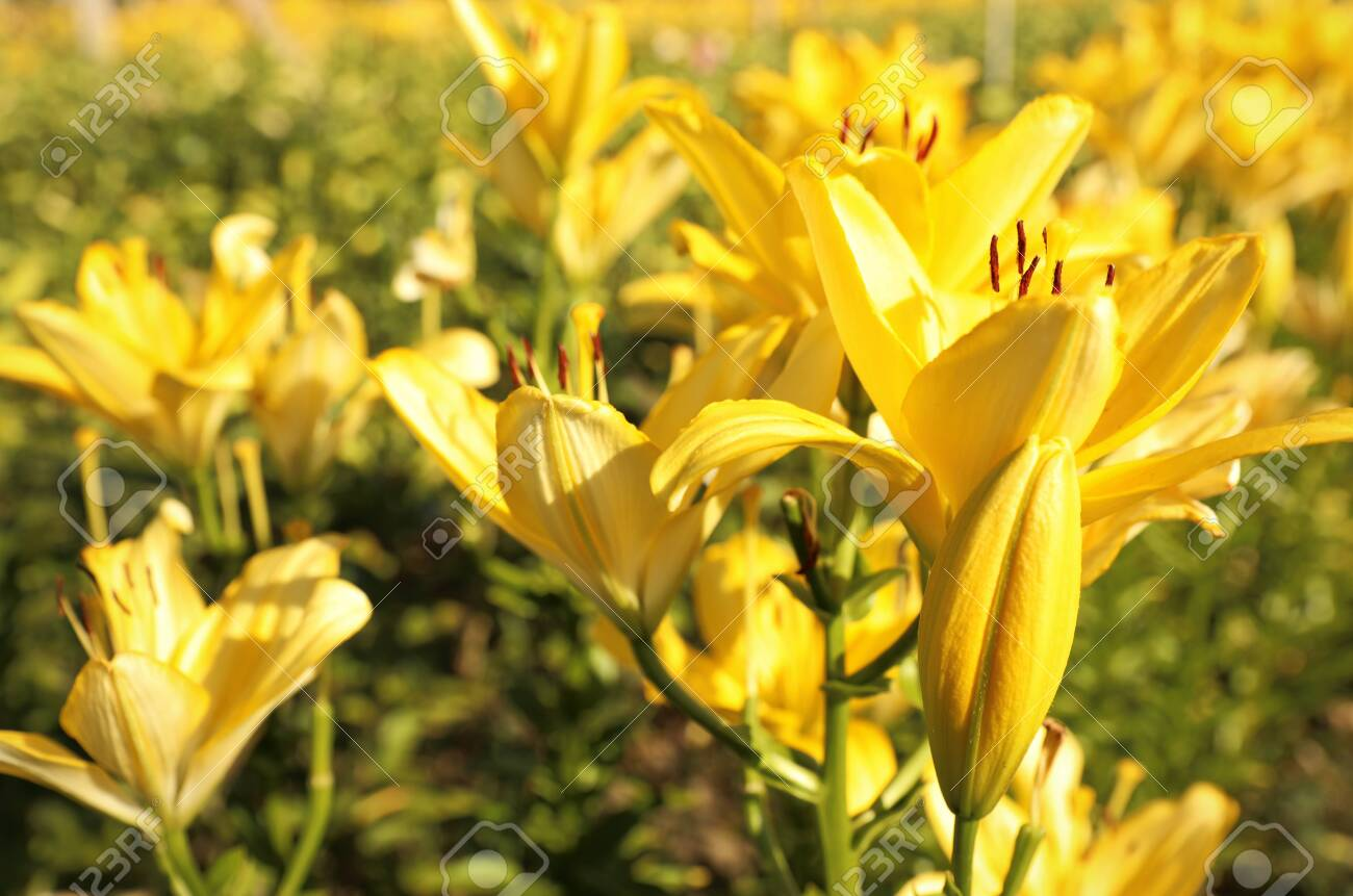 Beautiful Yellow Lilies In Blooming Field On Summer Day Stock