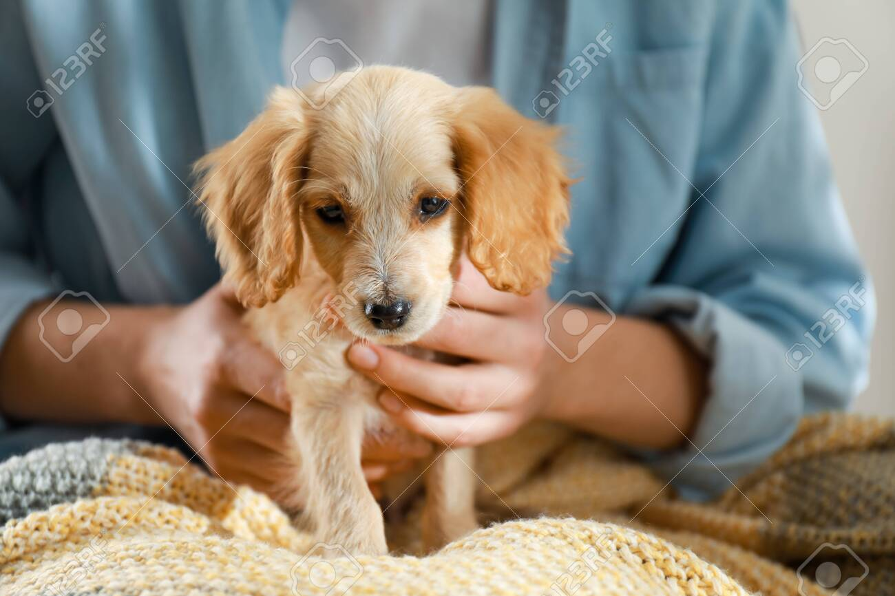 Owner With Cute English Cocker Spaniel Puppy Closeup Stock Photo Picture And Royalty Free Image Image 131680482