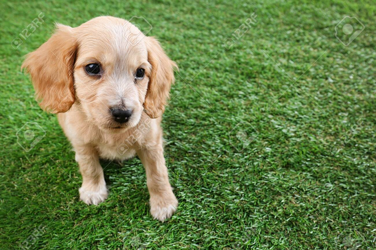 Cute English Cocker Spaniel Puppy On Green Grass Space For Text Stock Photo Picture And Royalty Free Image Image 131841490