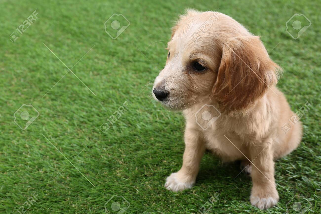 Cute English Cocker Spaniel Puppy On Green Grass Space For Text Stock Photo Picture And Royalty Free Image Image 132239105