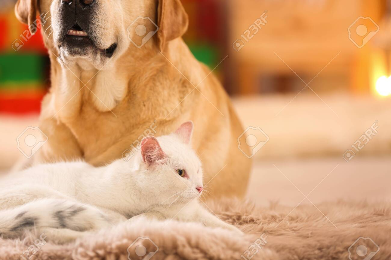 Adorable Dog And Cat Together At Room Decorated For Christmas Stock Photo Picture And Royalty Free Image Image 132473928