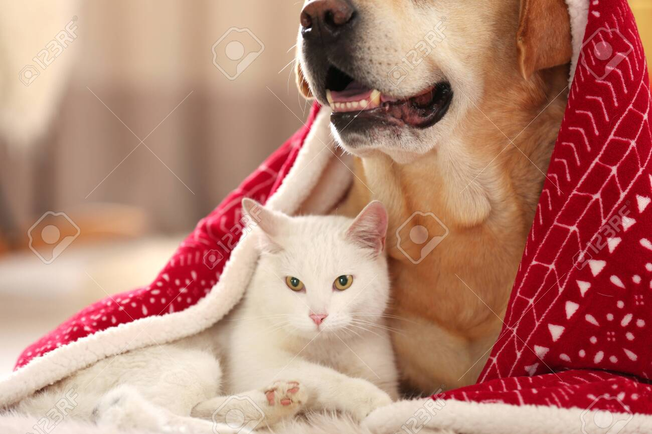 Adorable Dog And Cat Together Under Blanket At Room Decorated Stock Photo Picture And Royalty Free Image Image 132476844