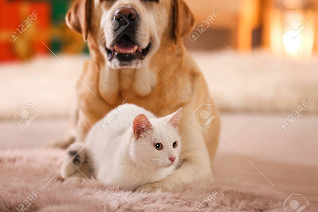 Adorable Dog And Cat Together At Room Decorated For Christmas Stock Photo Picture And Royalty Free Image Image 132535085