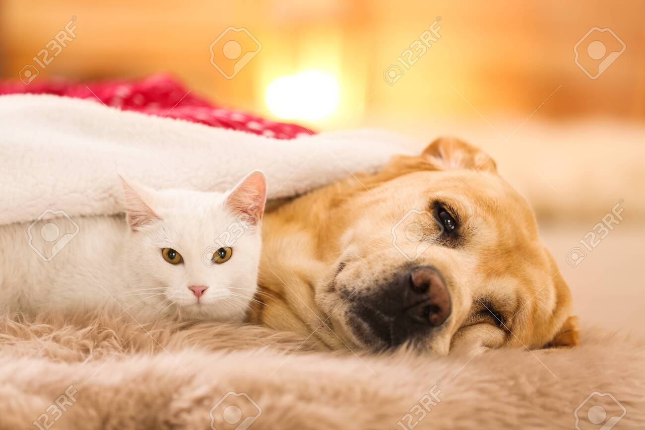Adorable Dog And Cat Together At Room Decorated For Christmas Stock Photo Picture And Royalty Free Image Image 132535362