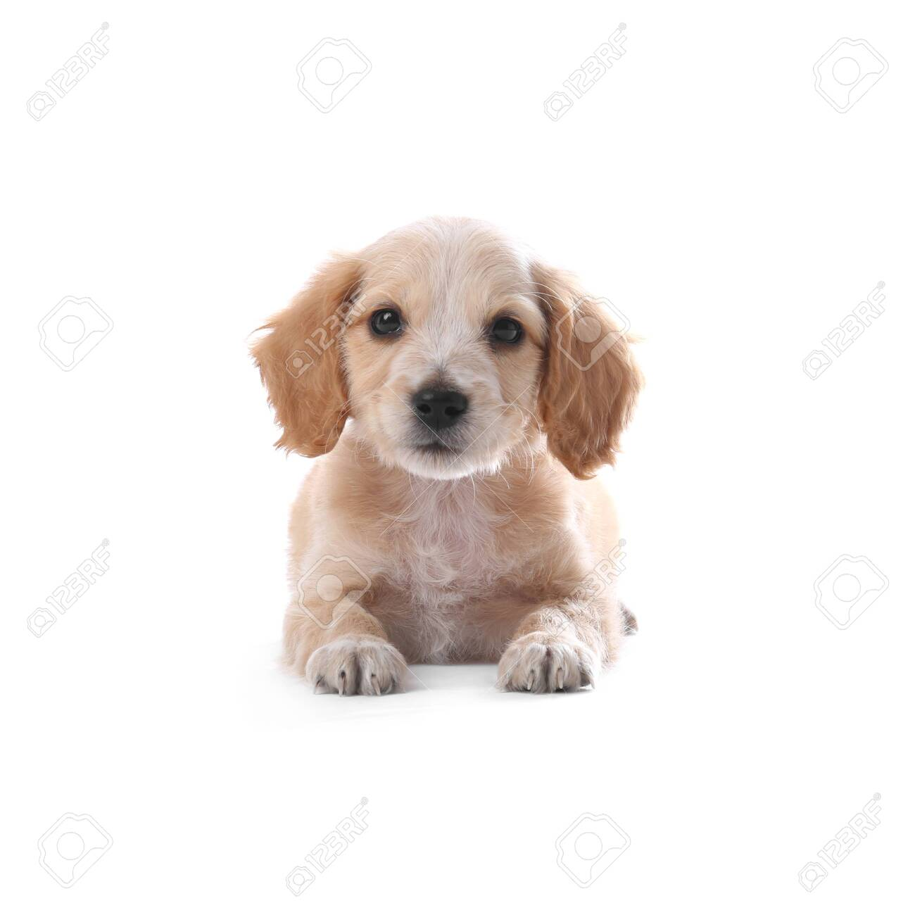 Cute English Cocker Spaniel Puppy On White Background Stock Photo Picture And Royalty Free Image Image 133227256