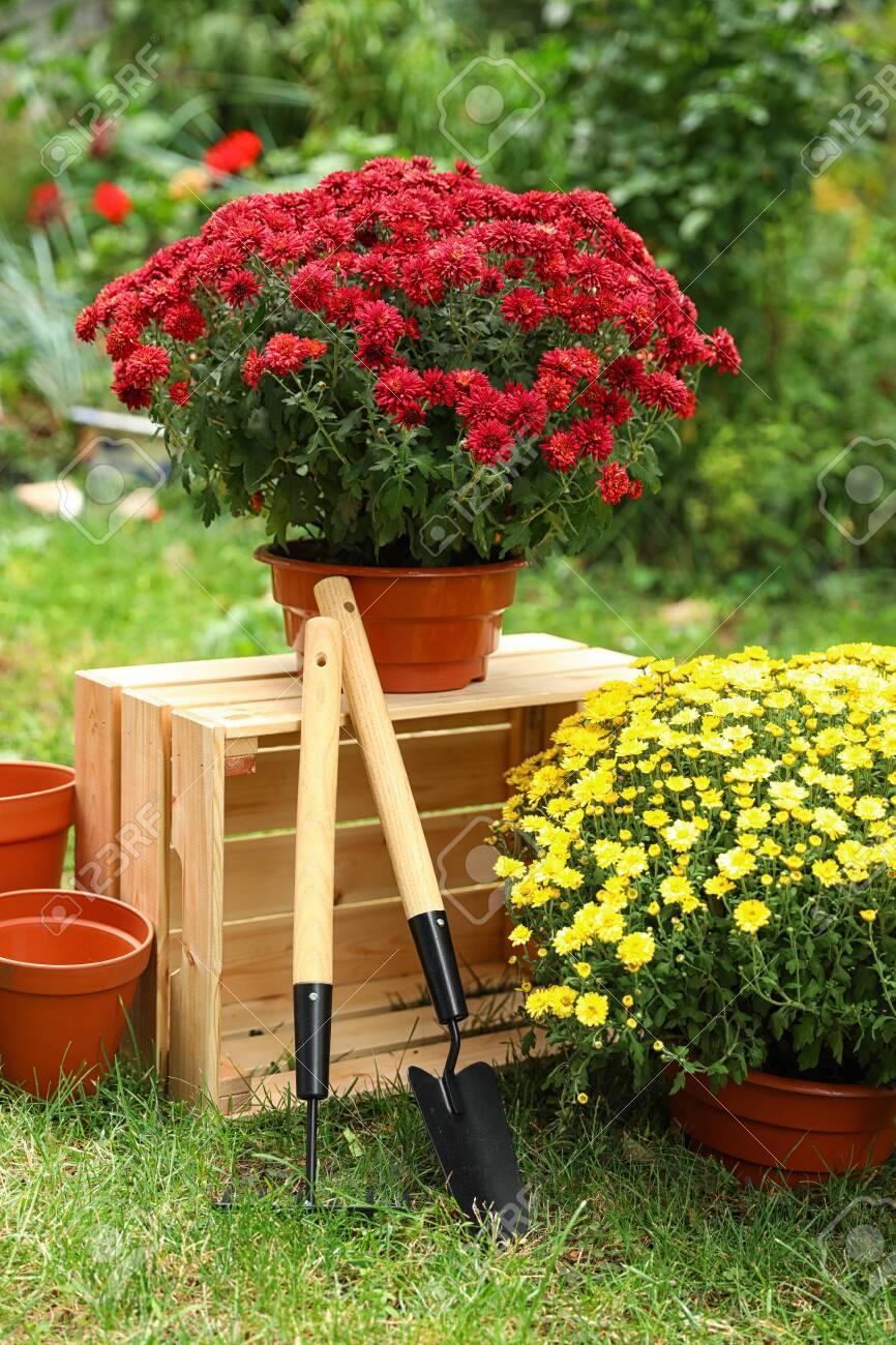 Beautiful fresh chrysanthemum flowers and gardening tools in garden - 133221961