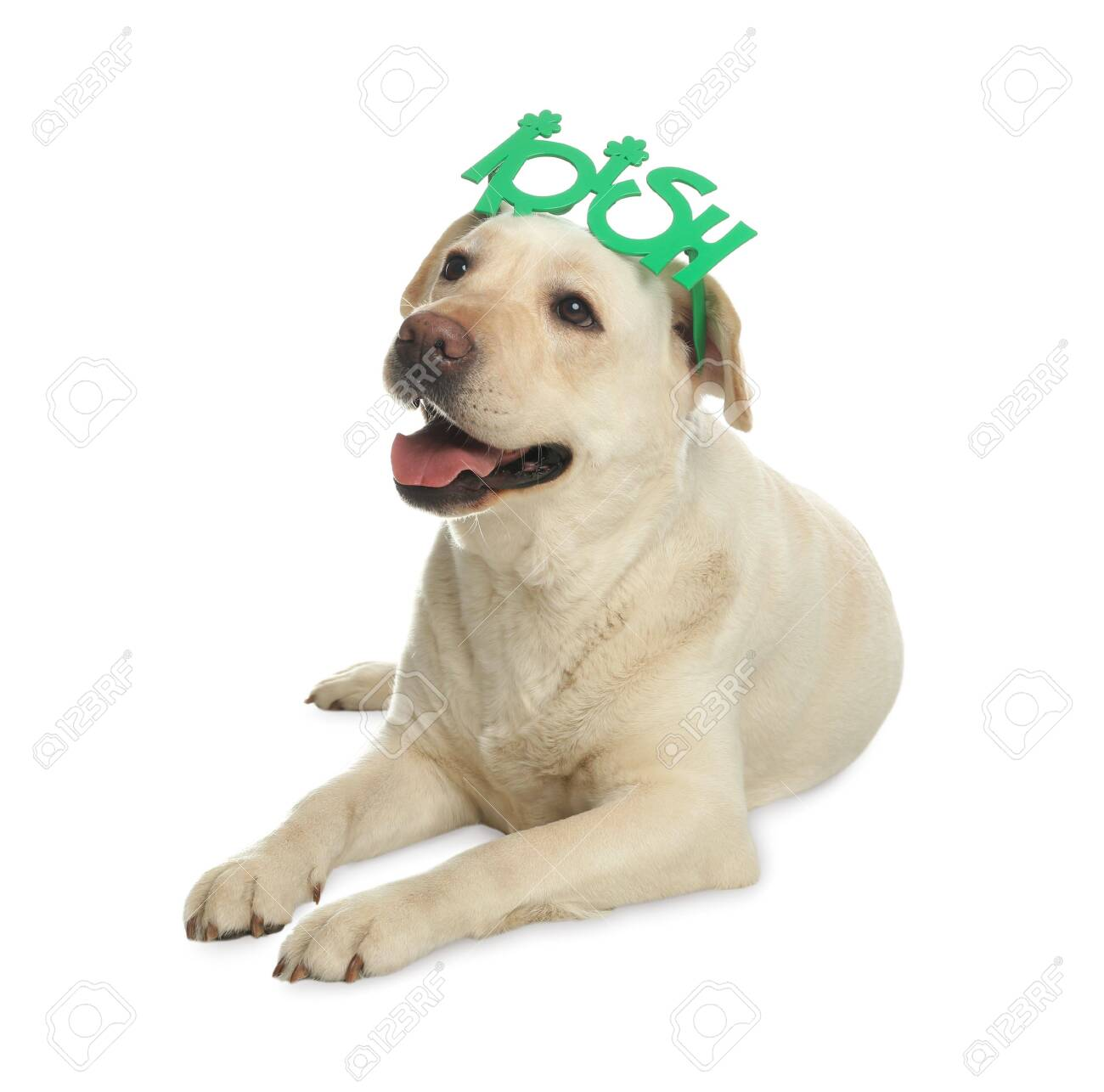 Labrador retriever with Irish party glasses on white background. St. Patrick's day - 142056653